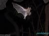 Nietoperz - na nocnej wycieczce w Masaya Volcano National Park; Nikaragua