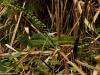 Trochę niewyraźny... bazyliszek! - w Parku Narodowym Arenal Vulcano; Kostaryka