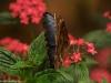 W motylarni w La Paz Waterfall Gardens; Kostaryka