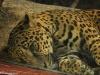 Jaguar - w La Paz Waterfall Gardens; Kostaryka
