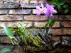 Fioletowe orchidee - znak rozpoznawczy Concepción; Boliwia