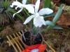Wystawa orchidei podczas Święta Orchidei w Concepción; Boliwia