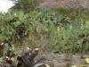 Opuncja figowa - kanion Cotahuasi; Peru