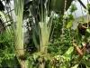 """""""Drzewo Podróżnika"""" - Ogród zimowy w Auckland Domain; Nowa Zelandia"""